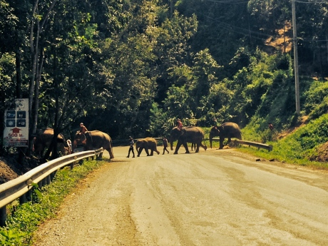 Elephant Crossing in Chiang Mai, Thailand